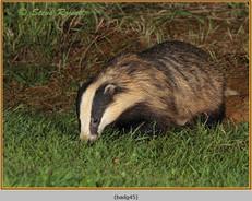 badger-45.jpg