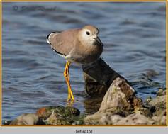 white-tailed-lapwing-15.jpg