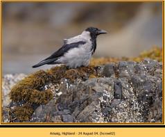 hooded-crow-02.jpg