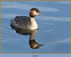 great-crested-grebe-34.jpg