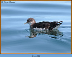 manx-shearwater-12.jpg