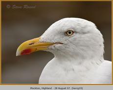 herring-gull-19.jpg