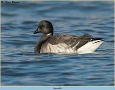 brent-goose-42.jpg
