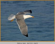 yellow-legged-gull-22.jpg