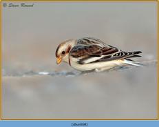 snow-bunting-68.jpg