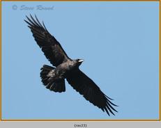 raven-23.jpg