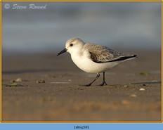 sanderling-59.jpg