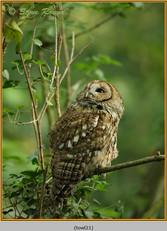 tawny-owl-21.jpg