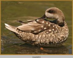 marbled-duck-01c.jpg