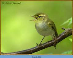 wood-warbler-76.jpg