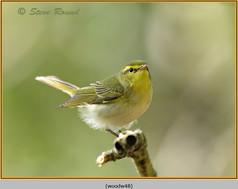 wood-warbler-48.jpg