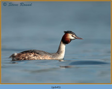 great-crested-grebe-45.jpg