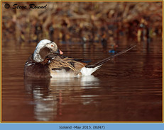 long-tailed-duck-47.jpg