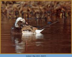long-tailed-duck-47.jpg