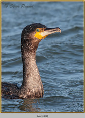 cormorant-28.jpg