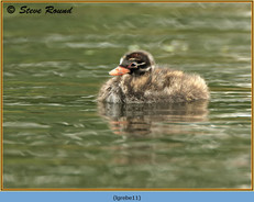 little-grebe-11.jpg