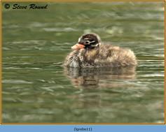 little-grebe-11.jpg