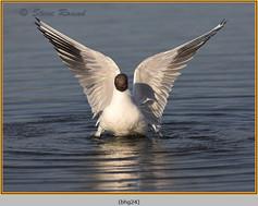 black-headed-gull-24.jpg