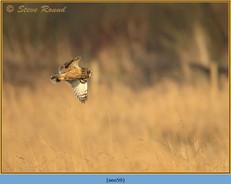 short-eared-owl-59.jpg