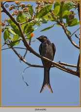 black-drongo-04.jpg