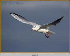 black-headed-gull-54.jpg