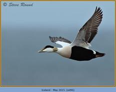 eider-duck- 96.jpg