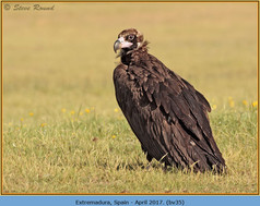 black-vulture-35.jpg