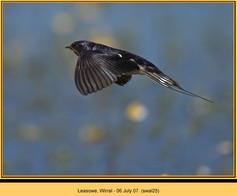 swallow-25.jpg