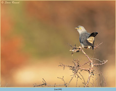 cuckoo-144.jpg