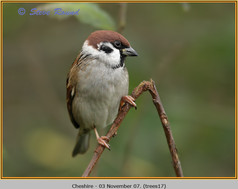 tree-sparrow-17.jpg
