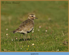golden-plover-23.jpg