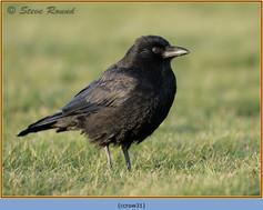 carrion-crow-31.jpg