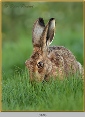 brown-hare-70.jpg