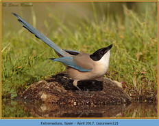 azure-winged-magpie-12.jpg
