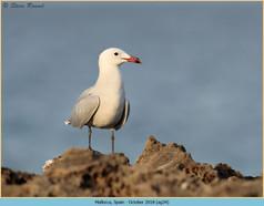 audouin's-gull-34.jpg