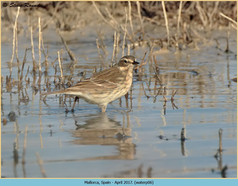 water-pipit-06.jpg