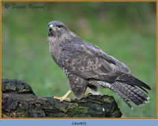 buzzard- 82.jpg