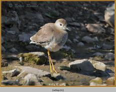 white-tailed-lapwing-16.jpg