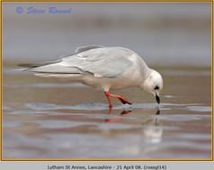ross's-gull-14.jpg