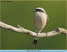 red-backed-shrike-18.jpg