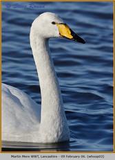 whooper-swan-03.jpg