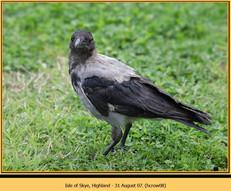 hooded-crow-08.jpg