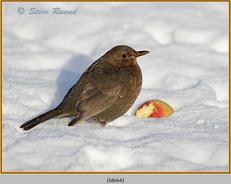 blackbird-64.jpg