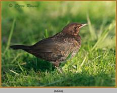 blackbird-48.jpg