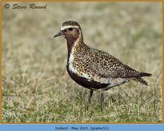 golden-plover-51.jpg