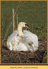mute-swan-10.jpg