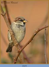 house-sparrow-47.jpg