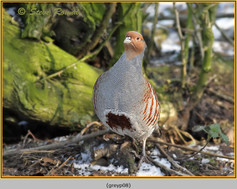 grey-partridge-08.jpg