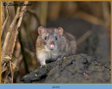brown-rat-25.jpg