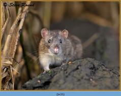brown-rat-25.jpg
